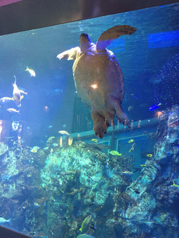 大きなウミガメ