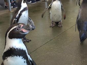 ペンギンのお散歩ショー